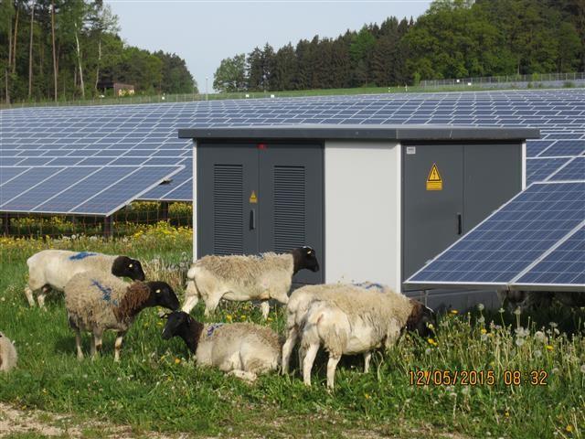 Im Solarpark weiden die Schafe zwischen den Modulen und Trafostationen