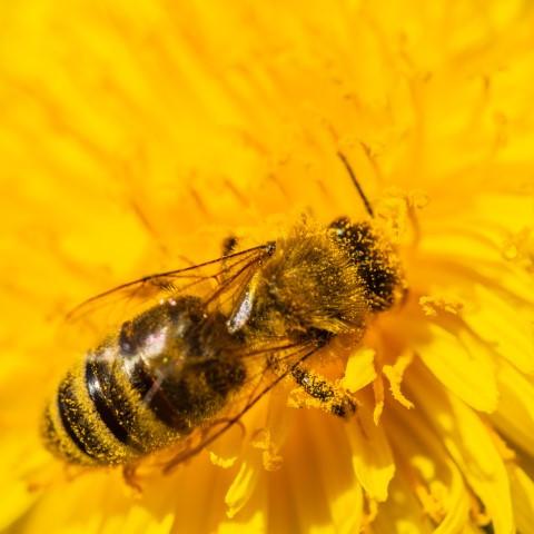 Bienen zählen weltweit zu den wichtigsten Bestäubern