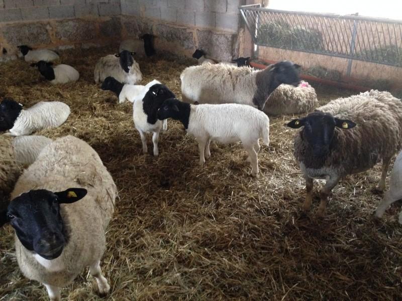 Mitte März stehen die Schafe noch im Stall (Foto: Daniel Stief)