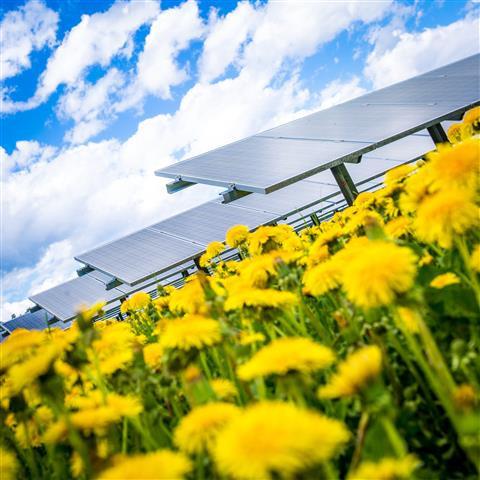 Gelbes Meer aus Blüten im Solarpark